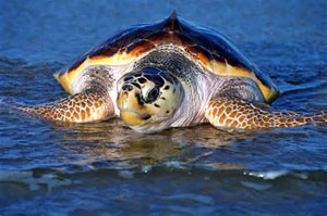 Sea Turtle - Loggerhead